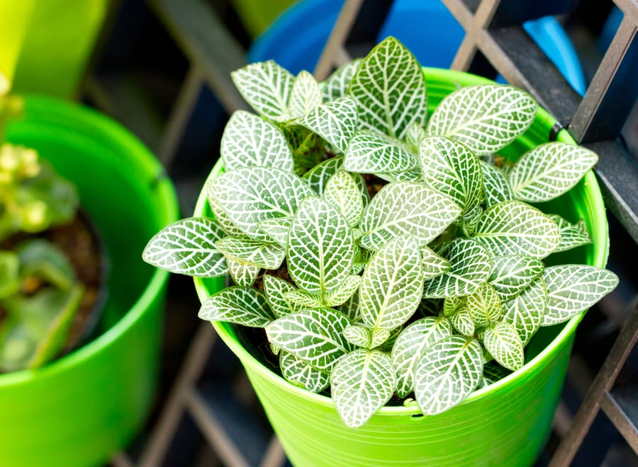 Fittonia Nerve Plant Drooping