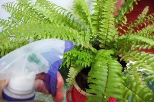 Clean fine-leafed plants like ferns with a spray of water.